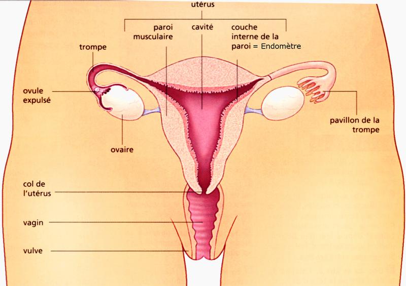 Schema systeme genital feminin