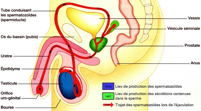 trajet des spermatozoides